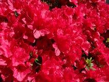 Azalea en la plena floración Fotografía de archivo libre de regalías