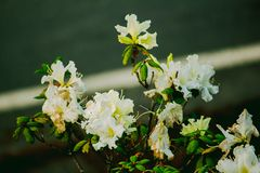 Azalea is the family name of the flowering plant in the genus Rhododendron moulmainense stock images