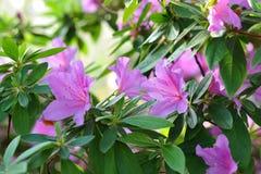 Azalea, flor rosado de la flor de la azalea Imagen de archivo