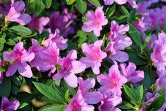 Azalea, flor rosado de la flor de la azalea Fotos de archivo libres de regalías
