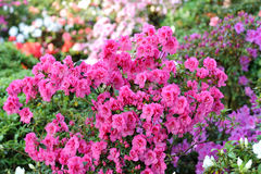 Azalea, flor rosado de la flor de la azalea Imagenes de archivo