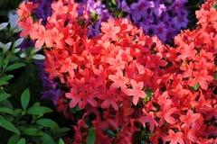 Azalea, flor rosado de la flor de la azalea Fotos de archivo