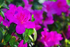 Azalea Flower. Royalty Free Stock Image
