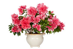 Azalea flower. Stock Photography