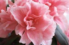 Azalea flower. Decorative Azalea flower Stock Photo