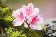 Azalea flower Royalty Free Stock Photos