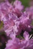 Azalea flower. Purple Azalea Flowers stock images