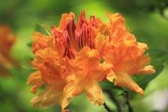 Azalea Flower amarilla Fotografía de archivo libre de regalías