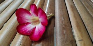 Azalea flower. On bamboo chiar background wallpaper Royalty Free Stock Images