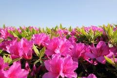 Azalea flower bed background Royalty Free Stock Photography