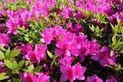 Azalea flower bed background Royalty Free Stock Photos