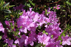 Azalea Flower Royalty Free Stock Images