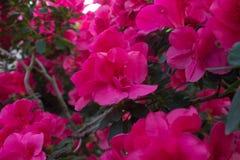 Azalea Flower Royalty Free Stock Photo
