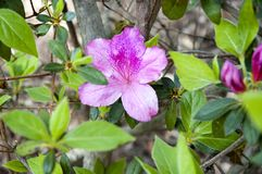 Azalea Flower Bush rosada Imagenes de archivo