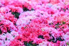 Azalea flower Stock Photography
