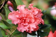 Azalea flower. Close up pink azalea flower Royalty Free Stock Image