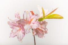 Azalea Flower Cluster rosa - isolata su bianco fotografia stock libera da diritti