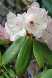 Azalea flower Royalty Free Stock Images