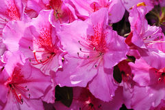 Azalea flower Stock Images