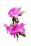 Azalea flower isolated on white Royalty Free Stock Photography