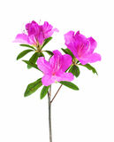 Azalea flower isolated on white Royalty Free Stock Photo