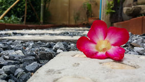 Azalea flower. Pink petal .garden background wallpaper Stock Photo