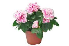 Azalea flower in the pot Stock Photos