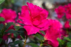 Azalea flower red Royalty Free Stock Image