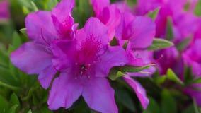 Azalea Flower rosa impressionante Fotografia Stock