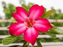 Azalea Flower trocista Foto de Stock Royalty Free