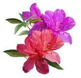 Azalea flower vector illustration royalty free stock image