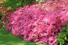 Pink Azaleas. Flowers hedge in Spring Stock Image