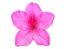 Azalea flower on white background Stock Photography