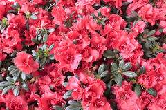 Azalea flowering plant Stock Images