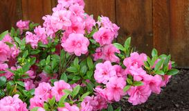Azalea, flowering shrubs member of the genus Rhododendron. Flower stock image