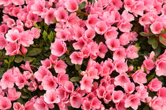 Azalea flowers. The background of pink azalea flowers stock photography