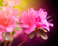 Azalea flowers. Azalea on dark background. Floral art design royalty free stock images