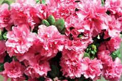 Azalea flowers Stock Image