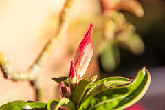 Azalea flowers. Royalty Free Stock Images