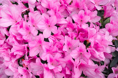 Azalea flowers. The background of pink azalea flowers. Scientific name: Rhododendron lapponicum stock images