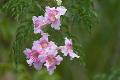 AZALEA FLOWERS, BANOS ECUADOR. Close up of beautiful pink azalea flowers in a garden in Banos Stock Photography
