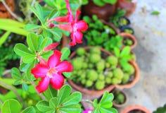 Azalea flowers. Stock Images