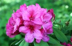Azalea flowers in bloom. Close-up on a bouquet of flowering Azalea in natural environment. Azaleas are flowering shrubs from the Rhododendron genus and are very stock photos