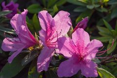Azalea flowers in bloom. Close-up on a bouquet of flowering Azalea in natural environment royalty free stock photos