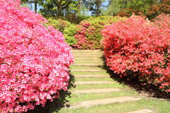 Azalea Royalty Free Stock Photos