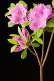 Azalea flowers and buds Stock Image