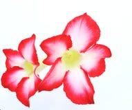 Azalea flowers Royalty Free Stock Photography