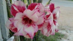 Azalea flowers stock photography
