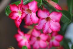 Azalea flowers fuchsia color Stock Image