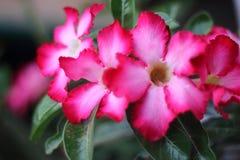 Azalea flowers fuchsia color. Azalea pink flowers in the garden stock photo